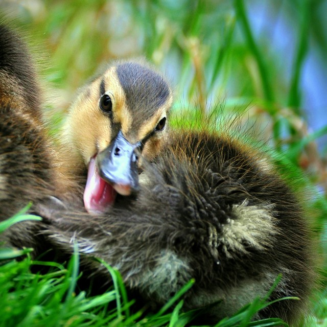"""Chuckling duckling"" stock image"