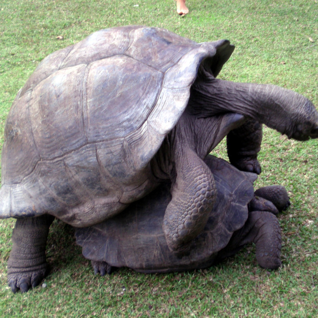 """Mating giant tortoise"" stock image"