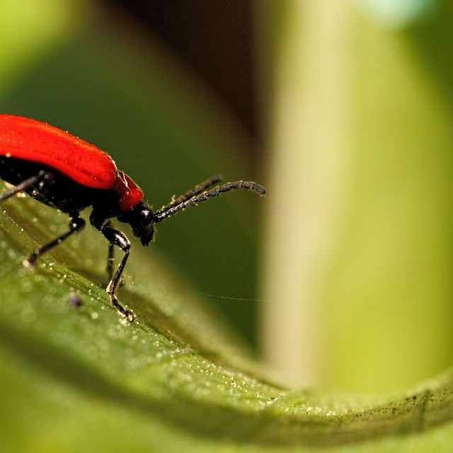 """Red Lilly beetle"" stock image"