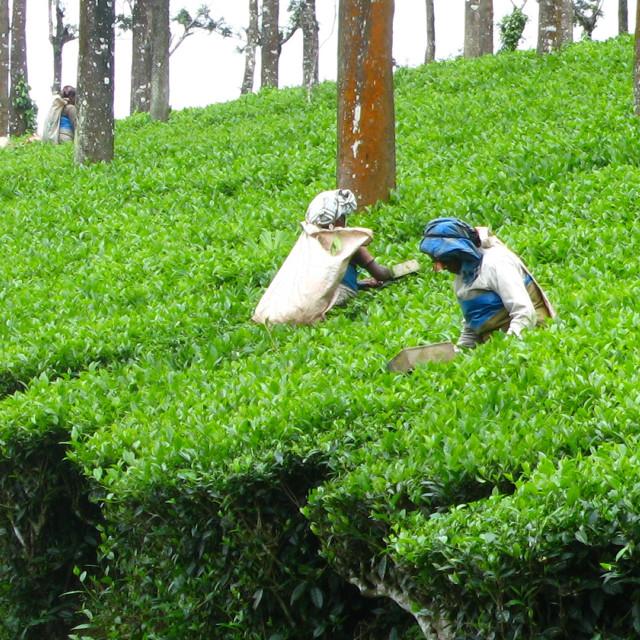 """""""Picking tea"""" stock image"""