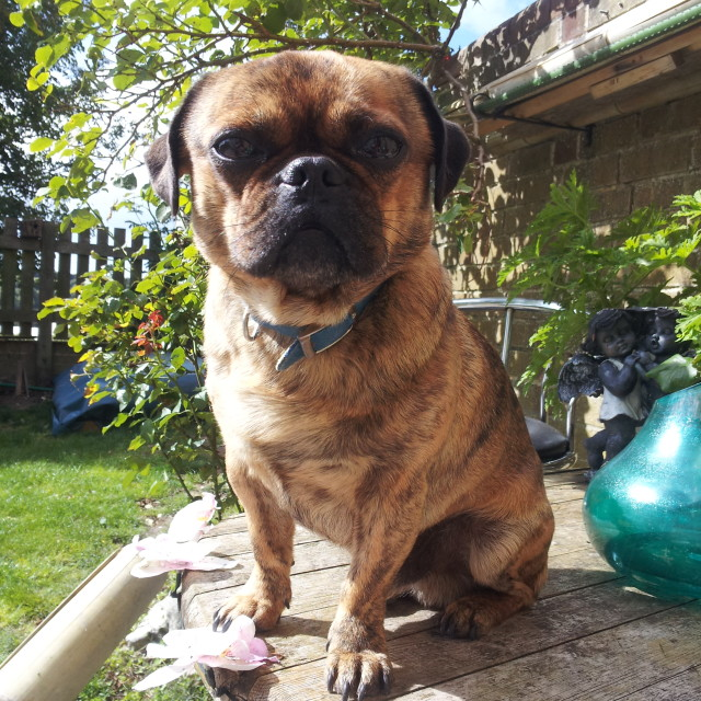 """""""A Pug In The Sun"""" stock image"""
