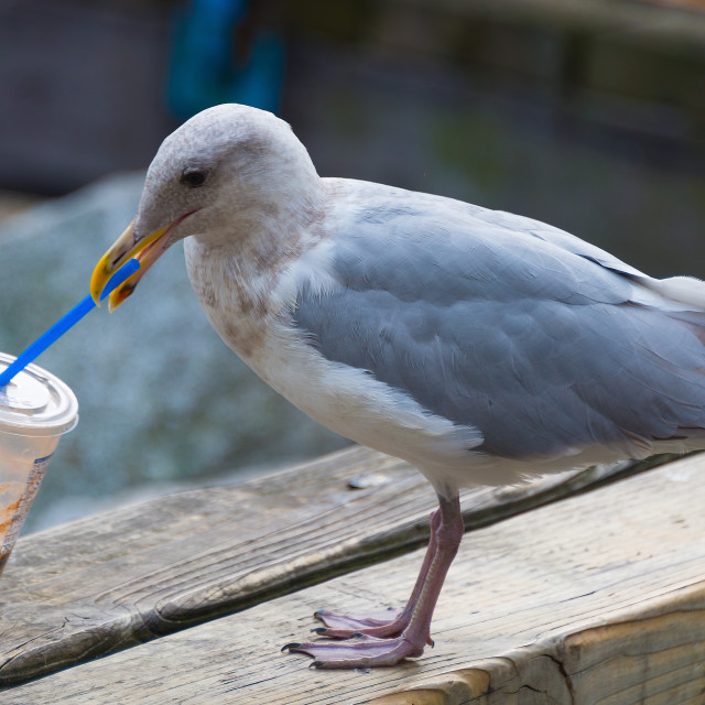 """Seagull Drinking from Straw"" stock image"