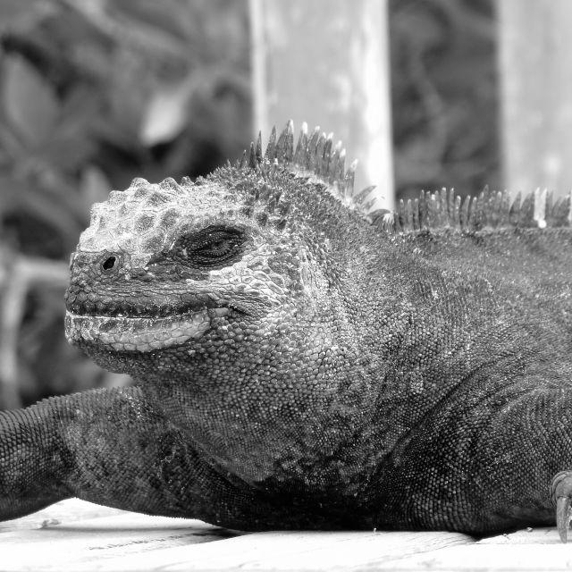 """""""Snoozing Iguana"""" stock image"""