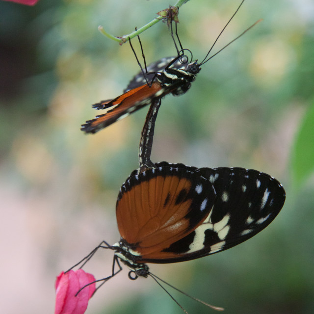 """Mating butterflies"" stock image"