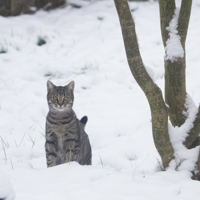 """Cat in the Snow"" stock image"