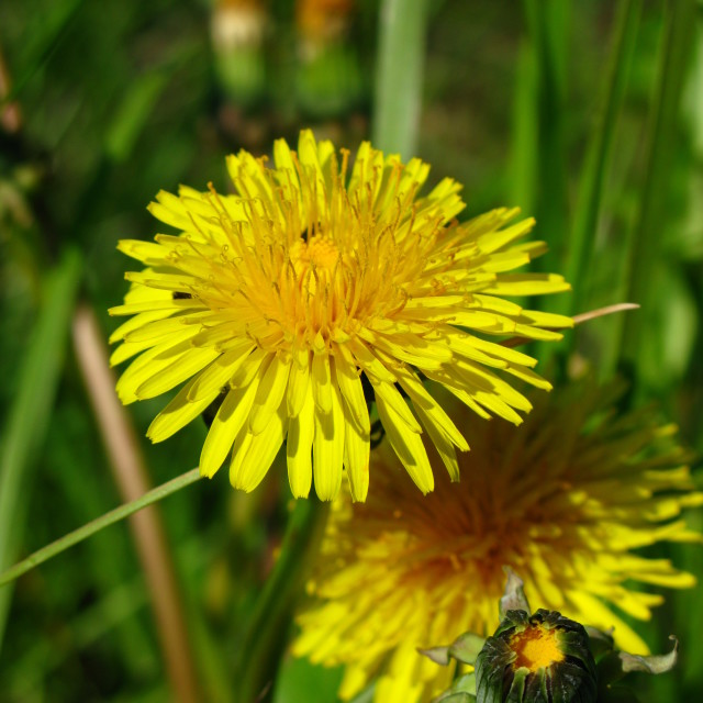 """Common Dandelion"" stock image"