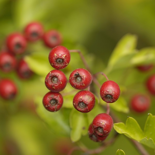 """Hawthorn Berries"" stock image"