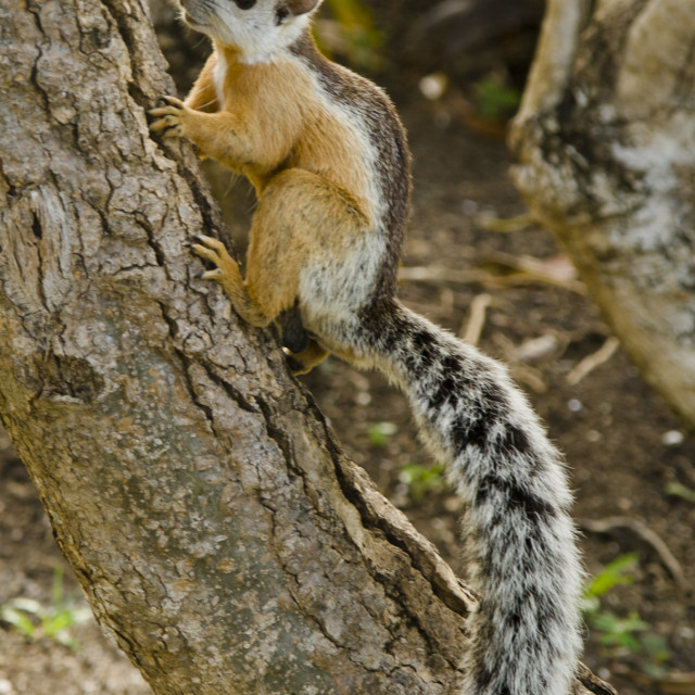 """Variegated Squirrel"" stock image"