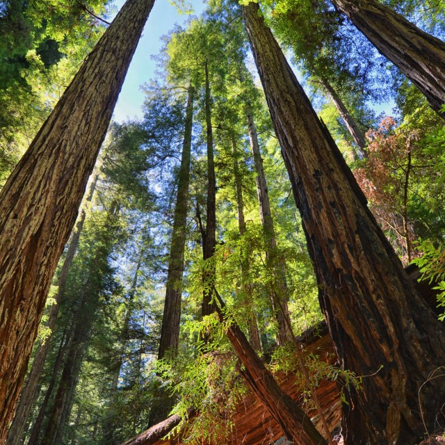 """Redwood Forrest HDR"" stock image"