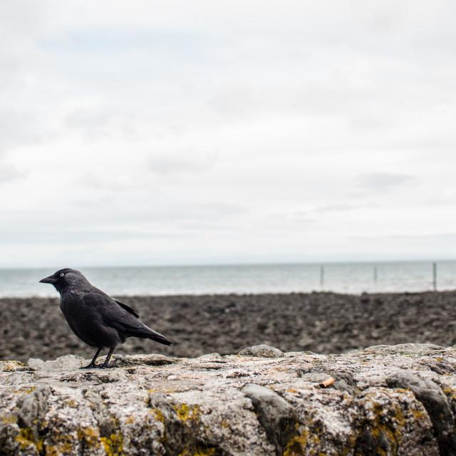 """Crow on wall"" stock image"