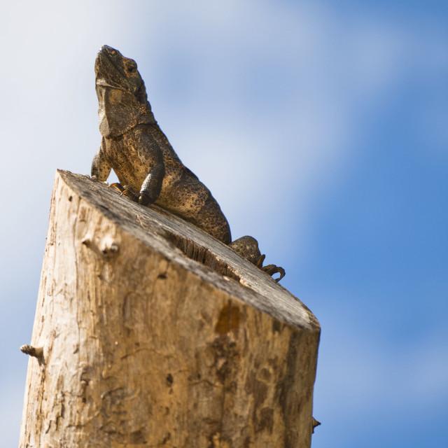 """""""Statuesque Reptile"""" stock image"""
