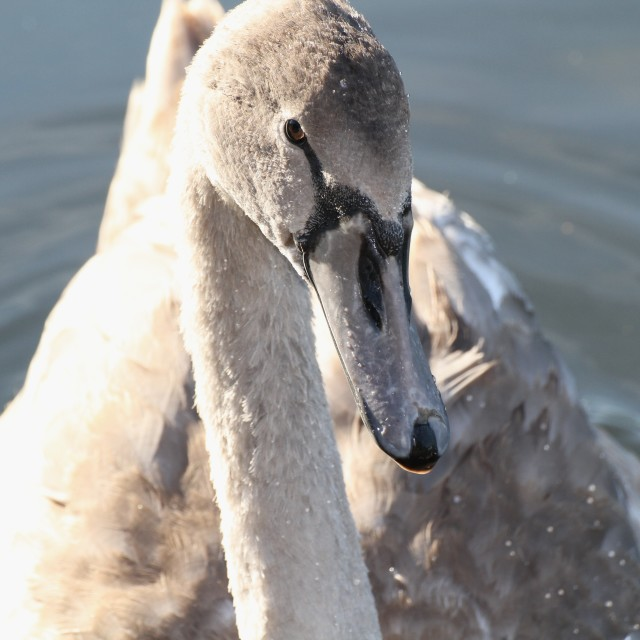 """Cygnet to Swan"" stock image"