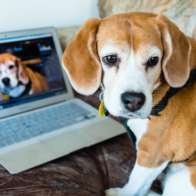 """Beagle Photo Editor"" stock image"