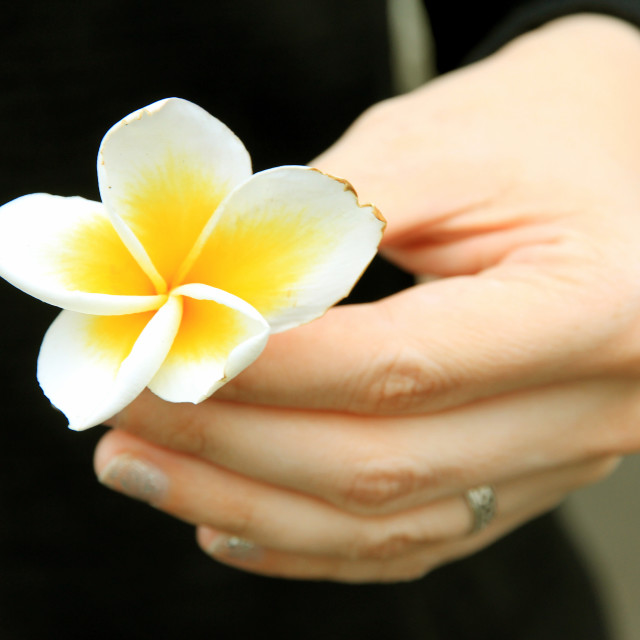 """Imperfect plumeria"" stock image"