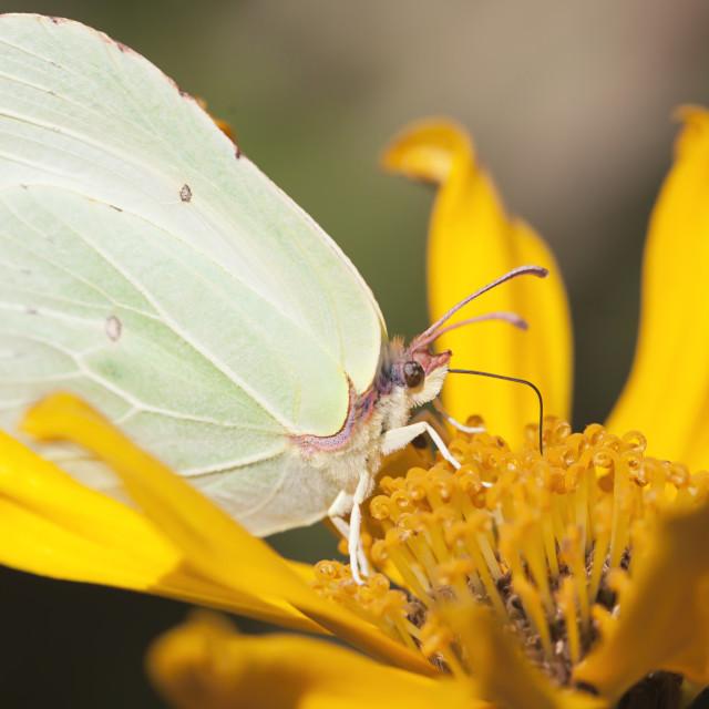 """Lemon butterfly"" stock image"