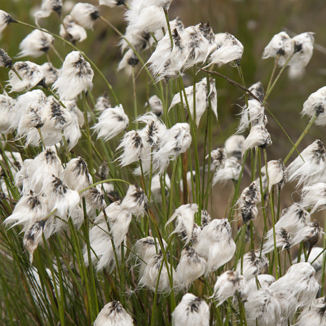 """Fluffy Cotton"" stock image"