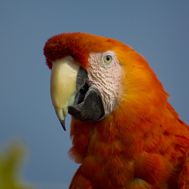 """Scarlet Macaw"" stock image"