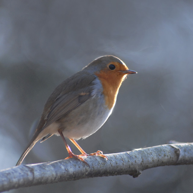 """Winter Robin"" stock image"