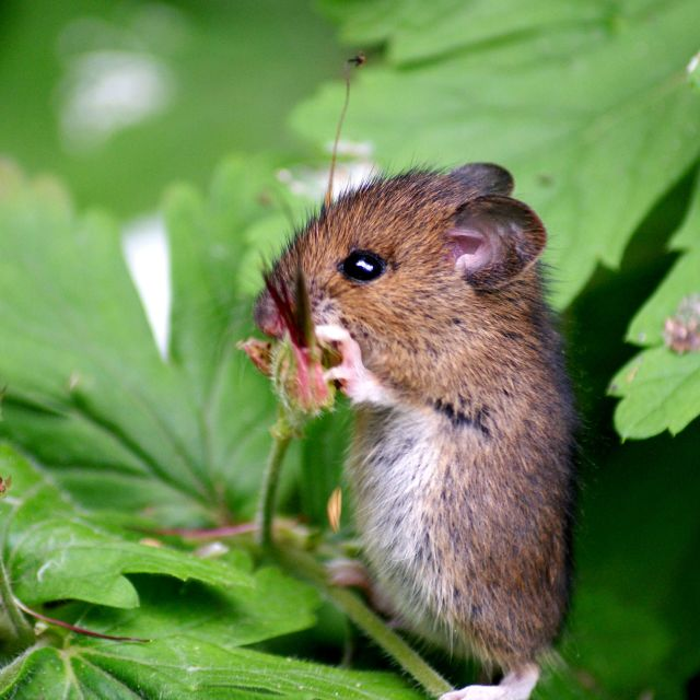 """Hungry Mouse"" stock image"