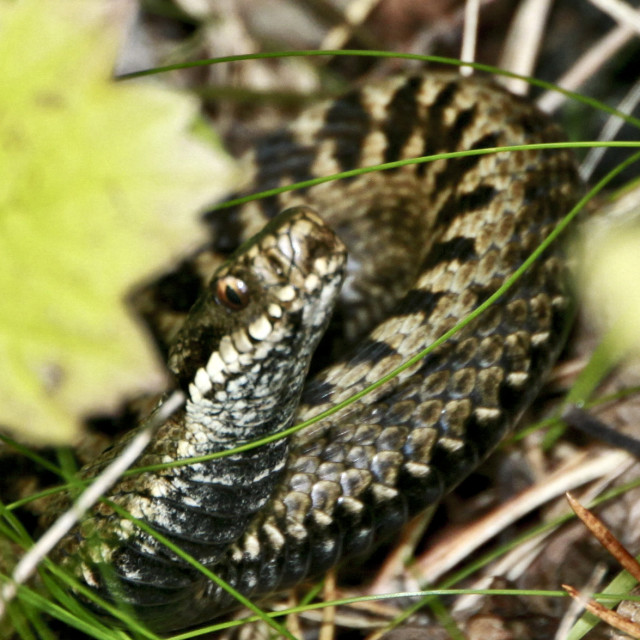 """Curious adder"" stock image"