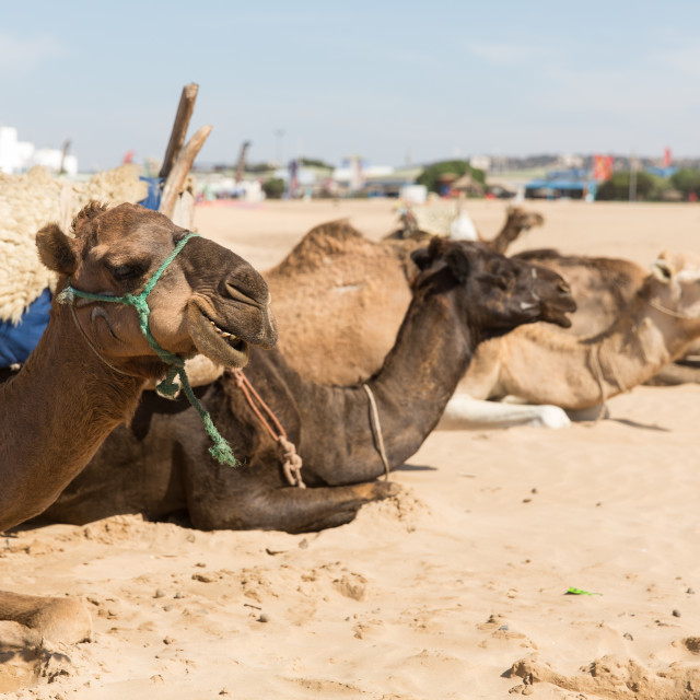 """Sitting Camels"" stock image"