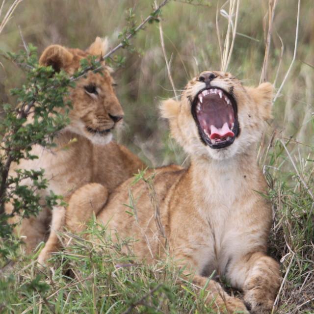 """Simba the Lion King"" stock image"