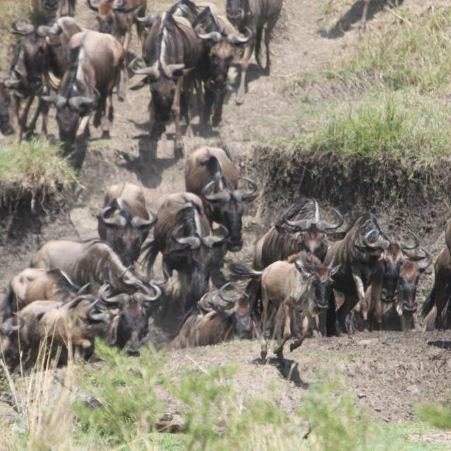"""""""Wildebeest Stampede"""" stock image"""