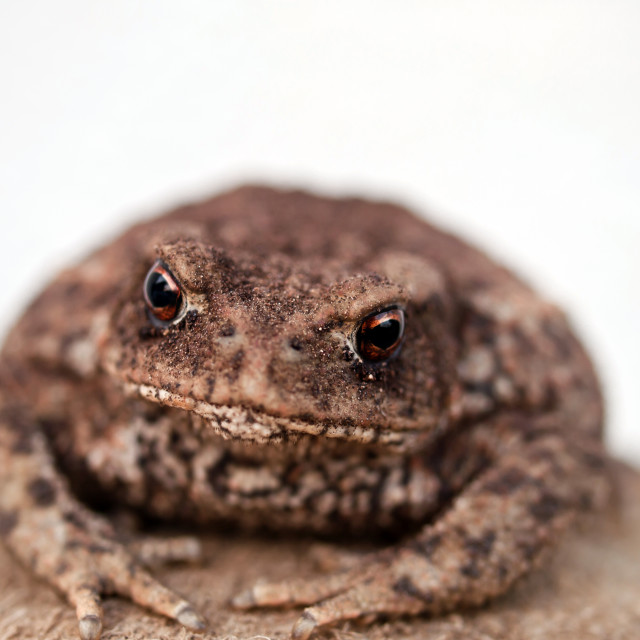 """Brown toad"" stock image"