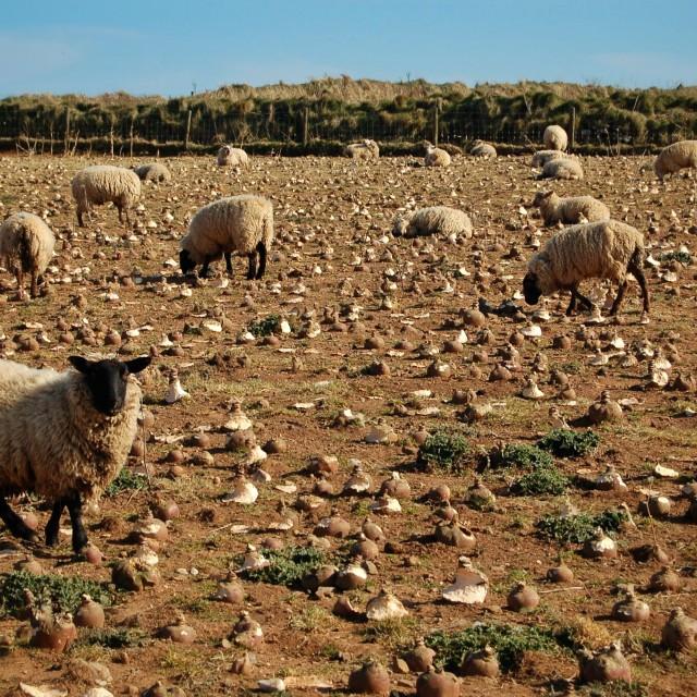 """""""Sheep at Rhossili Bay"""" stock image"""