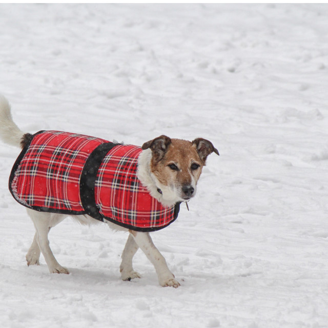 """Dog walking in snow"" stock image"