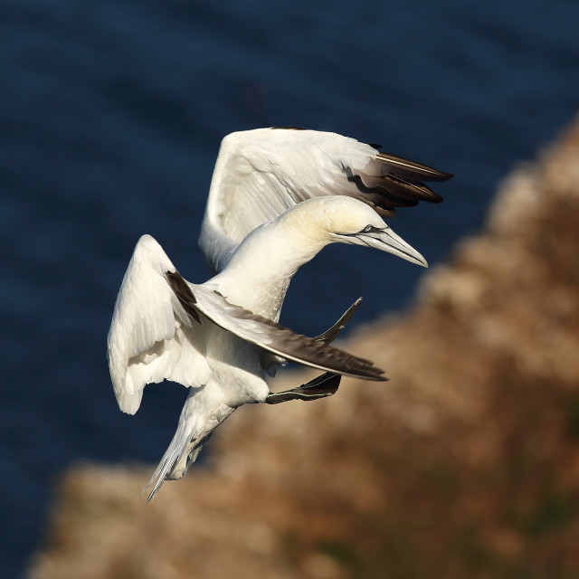 """Northern Gannet"" stock image"