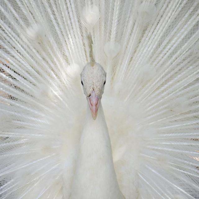 """""""Hugh Hefner's White Peacock"""" stock image"""
