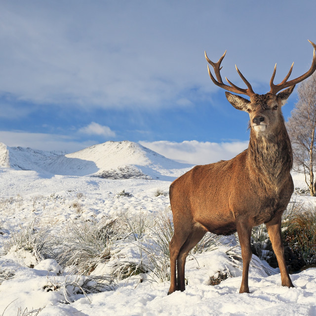 """Scottish Red Deer Stag"" stock image"