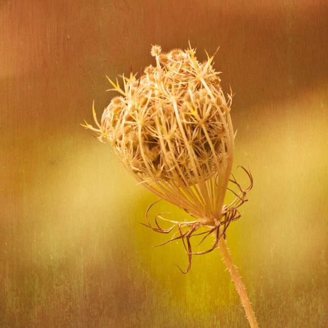 """""""Queen Anne's Lace"""" stock image"""