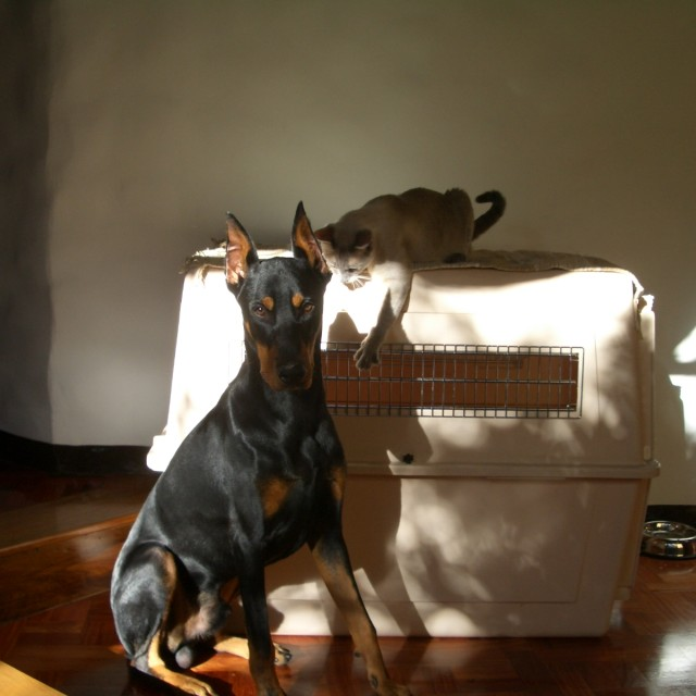 """Doberman and Siamese"" stock image"