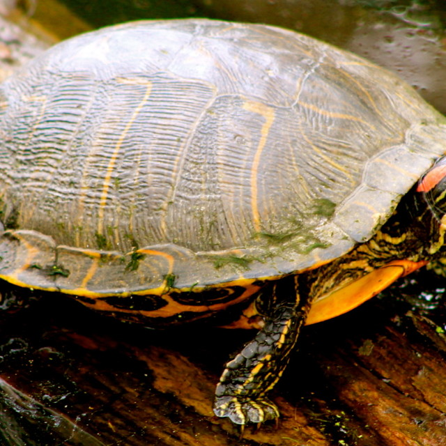 """""""Turtle in Texas"""" stock image"""
