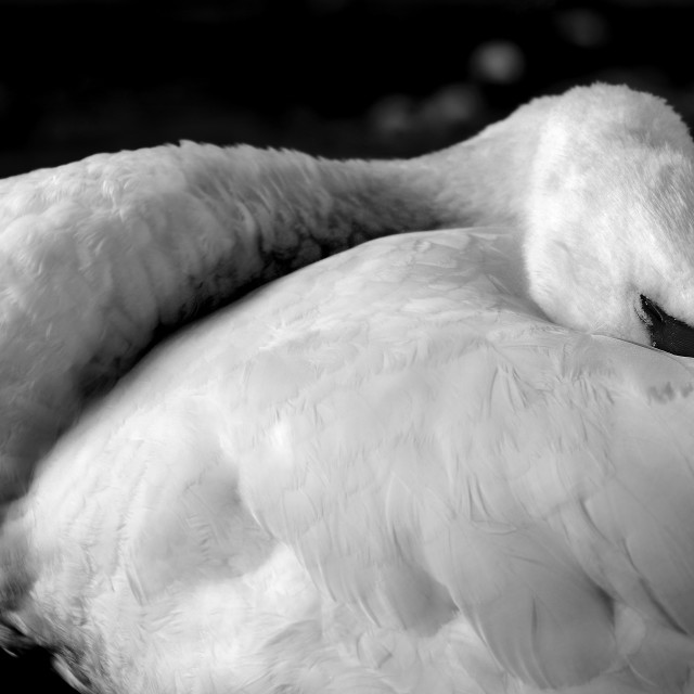 """Sleepy Swan"" stock image"