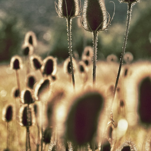 """Autumn Teasel"" stock image"