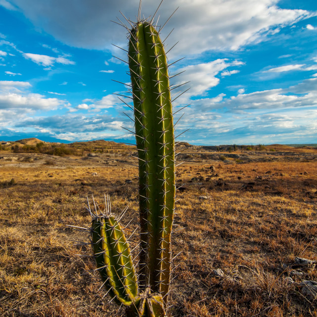 """A Cactus Alone in the Desert"" stock image"