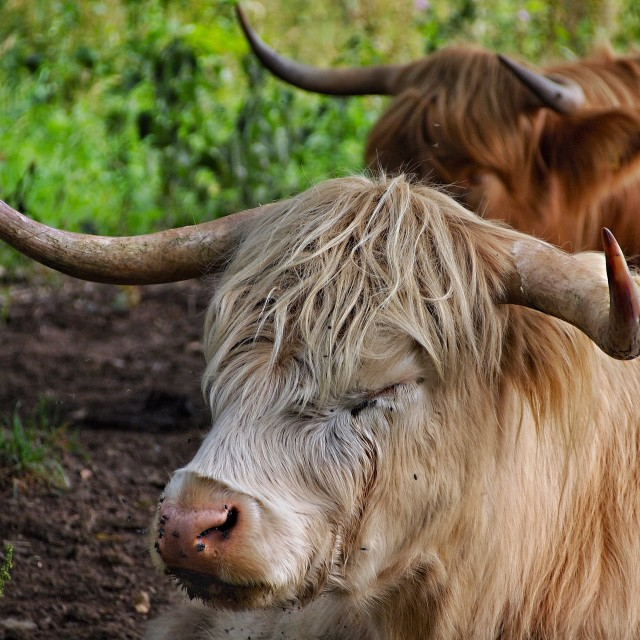 """""""Two snoozing cows"""" stock image"""