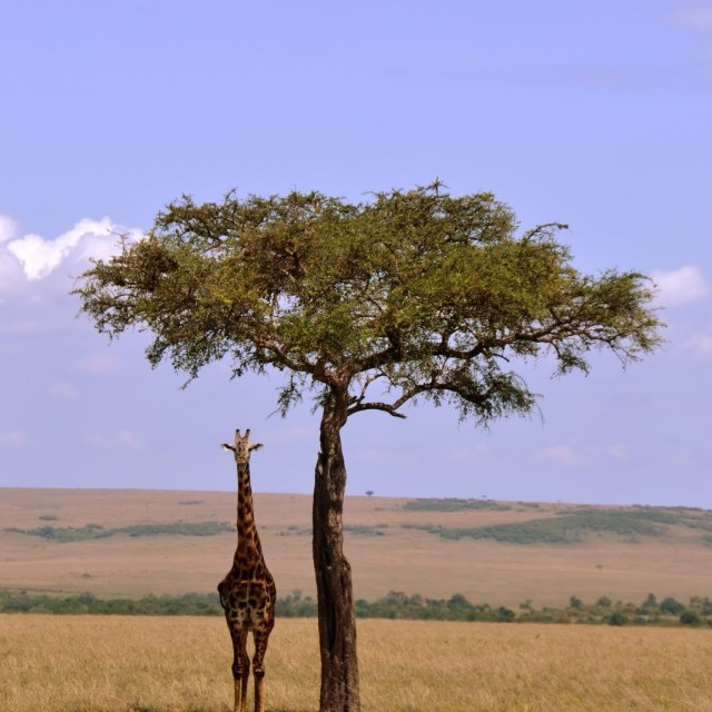 """Mara plains shade"" stock image"