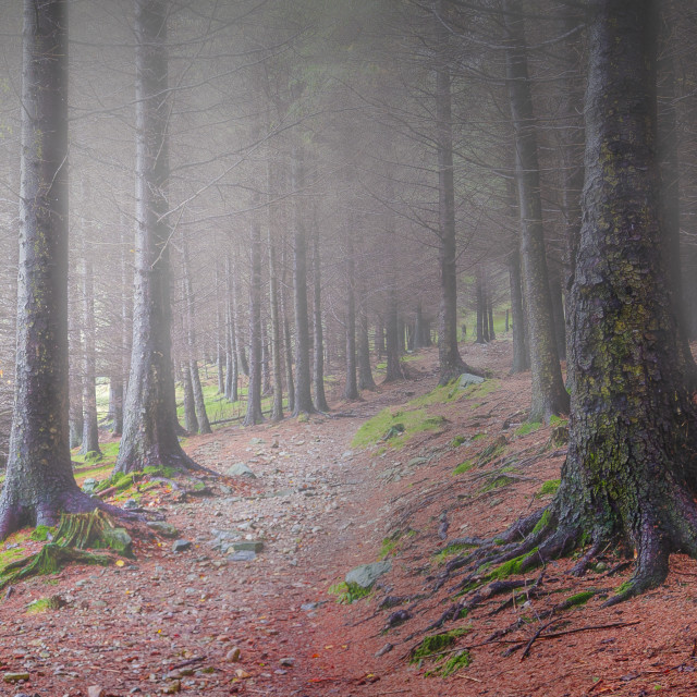 """""""Forest Mist"""" stock image"""