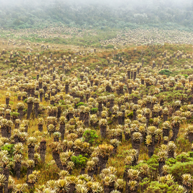 """Frailejon Plants in Colombia"" stock image"