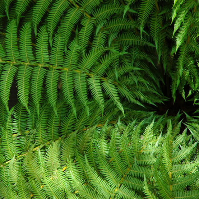 """Kew Gardens Dicksonia antarctica"" stock image"