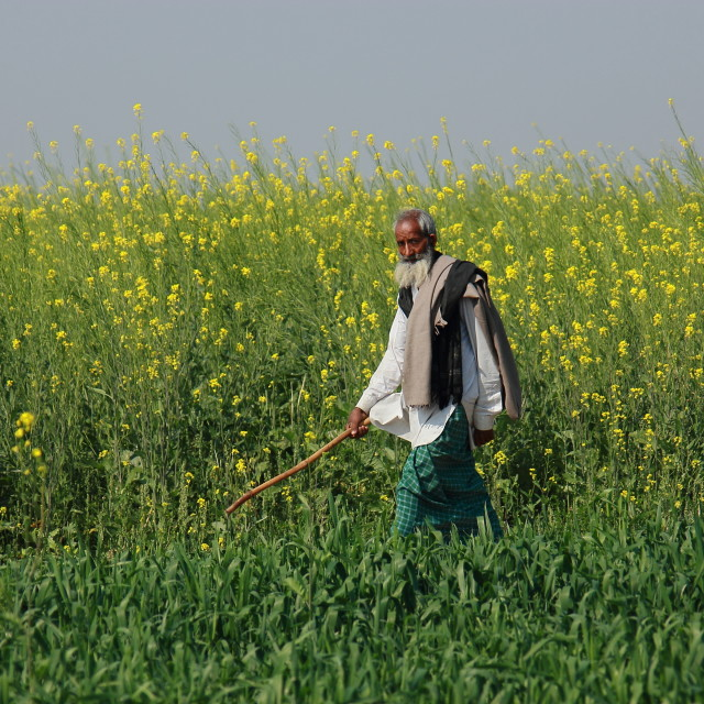 """Farmer and mustard field"" stock image"