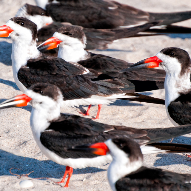 """Black Skimmers"" stock image"