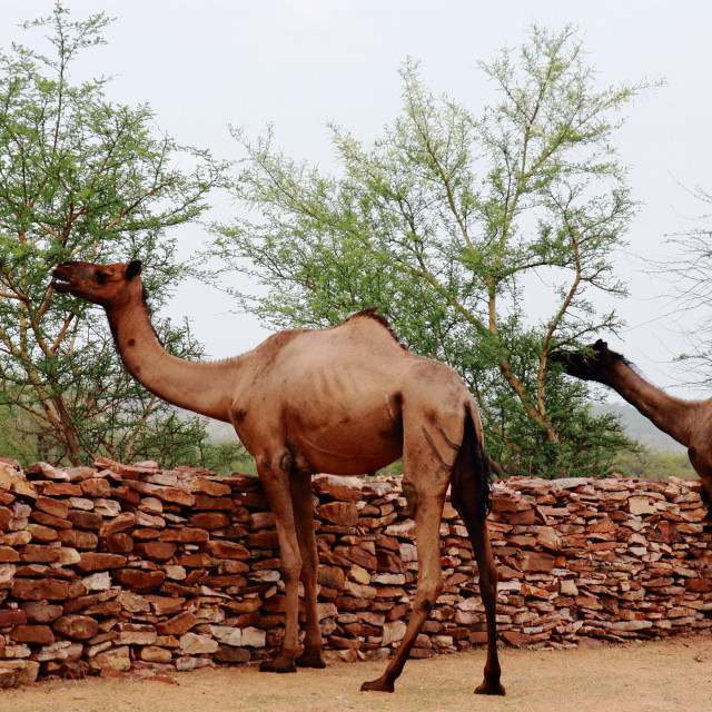 """""""Camels browsing"""" stock image"""