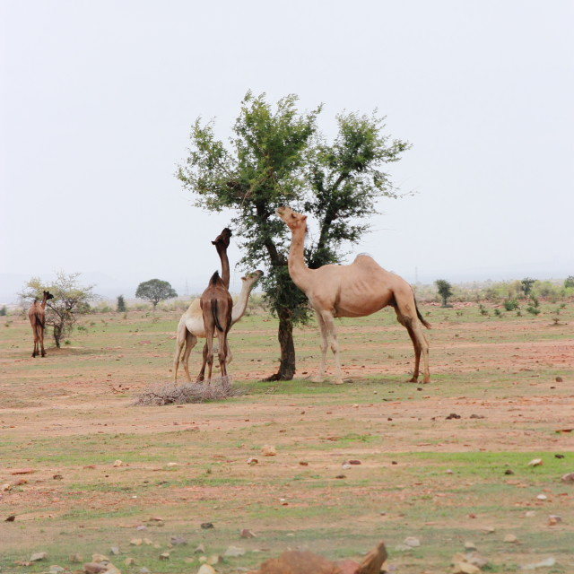 """""""Camels browsing acasia tree"""" stock image"""