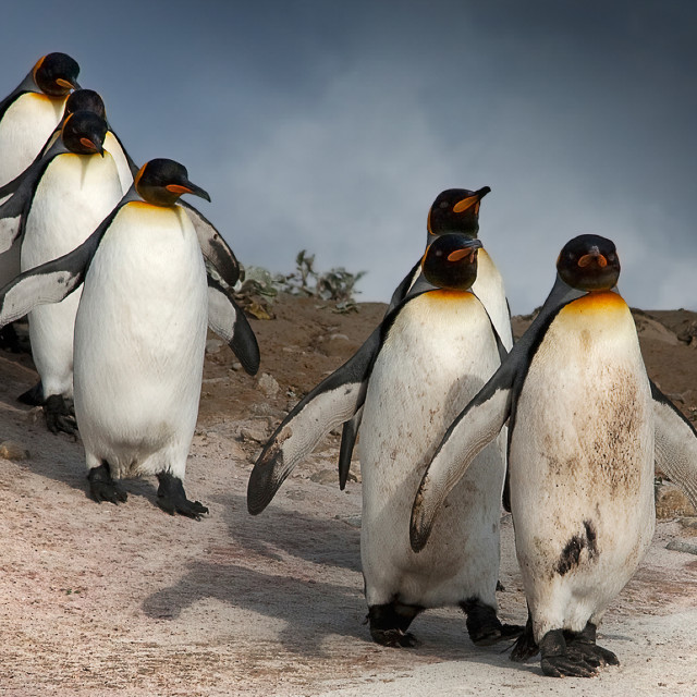 """""""March of the Penguins"""" stock image"""