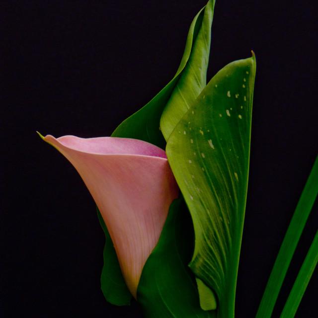 """""""Calla Lily"""" stock image"""